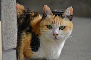 玄関前で飼い主を待つ三毛猫の写真・画像素材[2311025]