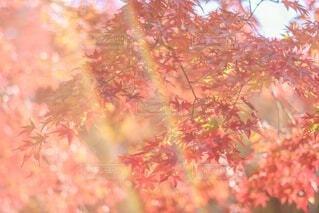 ♡紅祭り♡の写真・画像素材[3825382]