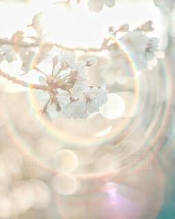玉ボケきらきら桜🌸の写真・画像素材[4310455]