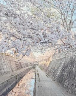 夕暮れ時のオレンジに染まる桜🌸♡の写真・画像素材[4310464]