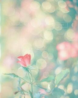 玉ボケと薔薇のコラボ🌹の写真・画像素材[4310484]