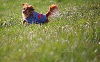 走る犬の写真・画像素材[3023699]