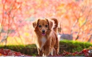 紅葉と犬の写真・画像素材[3722371]