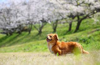 桜を楽しむ犬の写真・画像素材[4284411]