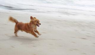 家族,犬,海,動物,屋外,ビーチ,かわいい,砂浜,散歩,茶色,走る,楽しい,嬉しい,ペット,わんこ,笑顔,チワックス,mix,雑種,ダッシュ,ライフスタイル,表情,かけっこ,スピード,急ぐ,流し