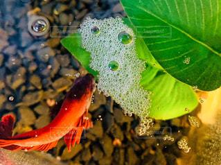 魚,熱帯魚,泡,ベタ,バブル,もこもこ,泡巣