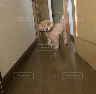 部屋に立っている犬の写真・画像素材[2322215]