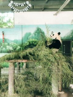 パンダの写真・画像素材[2436752]