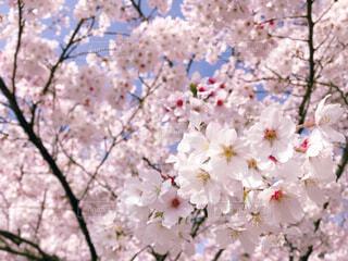 満開の桜の写真・画像素材[4288814]