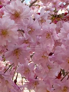 花,ピンク