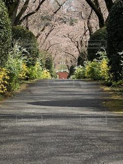 花,桜,道路,樹木,道,草木