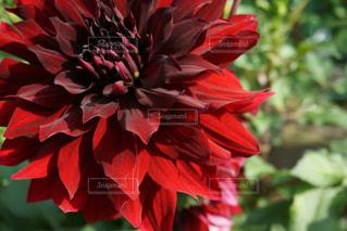 花の写真・画像素材[552642]