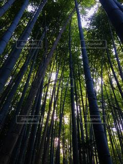 バック グラウンドでレッドウッド国立公園と州立公園の森の木の写真・画像素材[995480]