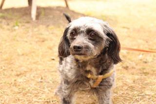 その口でフリスビーで遊んで小型犬の写真・画像素材[1187574]