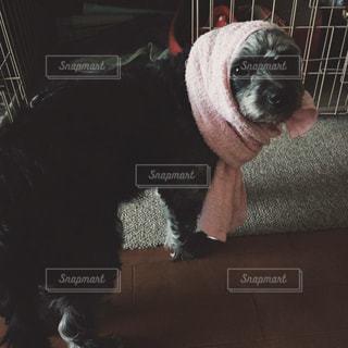ほっかむり犬の写真・画像素材[1187596]