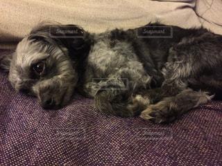 ベッドの上に横たわる犬 - No.1187934