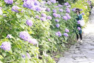 紫陽花の写真・画像素材[1253048]