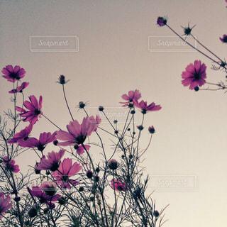 紫色の花一杯の花瓶の写真・画像素材[1448579]