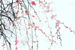花,ピンク,植物,ピンク色,桃色,梅の花,豊橋,pink,梅林公園