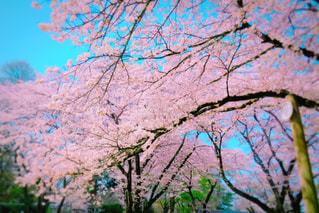空,春,屋外,景色,樹木,草木,桜の花,さくら,ブロッサム