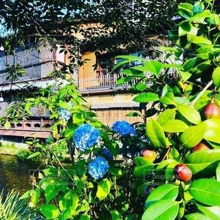 京都 祇園の紫陽花の写真・画像素材[3375053]