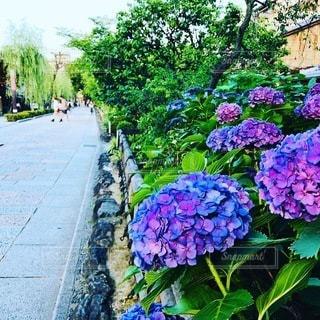 京都 祇園の紫陽花の写真・画像素材[3375052]