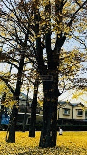 公園の銀杏の写真・画像素材[3714567]