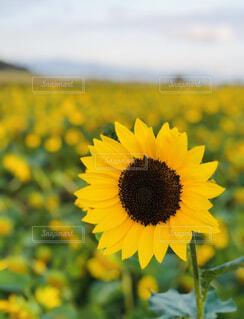 ひまわり畑にての写真・画像素材[4305674]