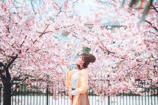 桜花爛漫の写真・画像素材[4332986]