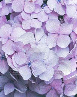 紫色の花束の写真・画像素材[3375194]