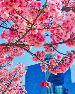 花,春,桜,木,花見,樹木,イベント,桜の花,さくら,桜満開,ブロッサム