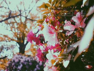 花,屋外,ピンク,緑,植物,ツツジ,フィルム,草木,フィルム写真,フィルムフォト
