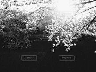 花,春,桜,屋外,モノクロ,散歩,白黒,影,光,外,フィルム,川沿い,草木,フィルム写真,フィルムフォト