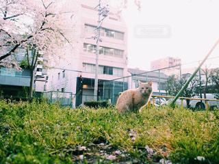 猫,公園,桜,動物,屋外,緑,植物,ふわふわ,ペット,人物,生き物,ネコ