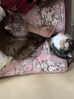 女性,20代,猫,動物,屋内,かわいい,2匹,ペット,人物,人,兄妹,ふれあい,キティ,ネコ,猫の日,ネコ科の動物,2月22日