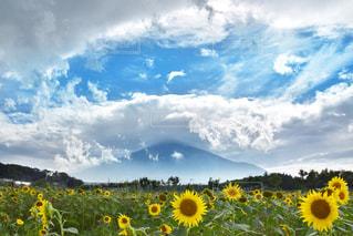 富士山とひまわりの写真・画像素材[2412772]