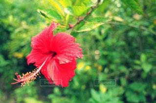 植物の赤い花の写真・画像素材[2368946]