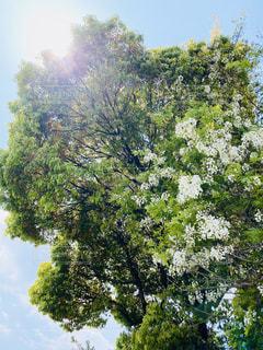 大きな木の写真・画像素材[3151570]