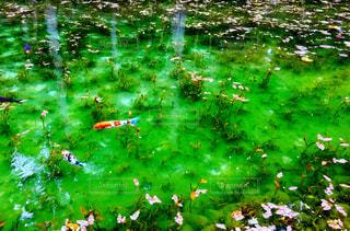 モネの池、カラフルな鯉の写真・画像素材[2350701]