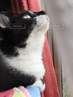 猫,動物,窓,カーテン,見上げる,ペット,人物,可愛い,見つめる,視線,ネコ,ニャン,保護猫,マスク猫