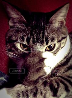 猫の写真・画像素材[163388]