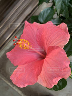 花,赤,ハイビスカス,草木,フローラ,ハワイアンハイビスカス