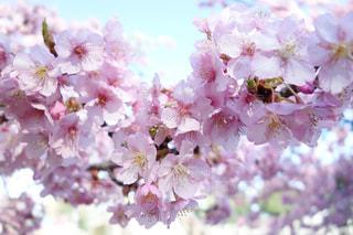 花,春,桜,ピンク,散歩,景色,満開,ハート,お花見,草木,桜の花