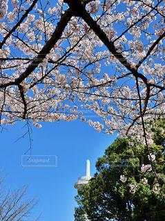 空,花,春,桜,木,屋外,白,青空,青,花見,樹木,お花見,イベント,電波塔,桜色,ピンク色,チェリーブロッサム,春爛漫,満開の桜