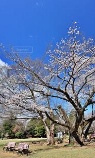 空,公園,花,春,桜,木,屋外,青空,青,青い空,ベンチ,花見,景色,満開,樹木,お花見,癒し,イベント,憩い,桜色,ピンク色,草木,チェリーブロッサム,春爛漫
