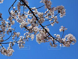 空,花,春,桜,木,屋外,青空,青,青い空,花見,満開,樹木,お花見,イベント,桜色,ピンク色,桜の花,チェリーブロッサム,春爛漫,さくら,ブロッサム