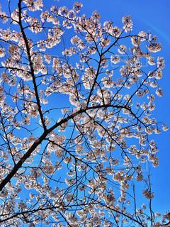自然,空,花,春,桜,木,屋外,青空,青,青い空,葉,花見,満開,樹木,お花見,イベント,桜色,ピンク色,草木,チェリーブロッサム,春爛漫,ブロッサム