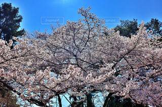 空,花,春,桜,木,屋外,青空,青,花見,景色,満開,樹木,お花見,イベント,桜色,ピンク色,桜の花,チェリーブロッサム,春爛漫,さくら,ブロッサム