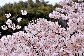 空,花,春,桜,木,屋外,青空,青,花見,鮮やか,満開,樹木,お花見,イベント,桜色,ピンク色,桜の花,チェリーブロッサム,さくら,ブロッサム,花爛漫