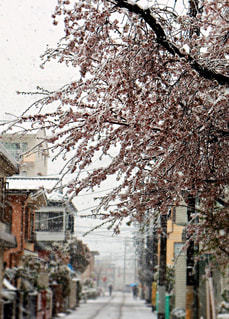 花,春,桜,木,雪,雪景色,花見,満開,お花見,イベント,ピンク色,銀世界